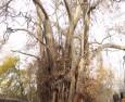 Tovuzda 1000 yaşlı nəhəng… (FOTO)…