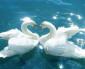 Tovuza gətirilən qu quşları…(video)