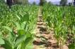 Tovuzda bu il 20 hektar sahədə tütün əkiləcək…